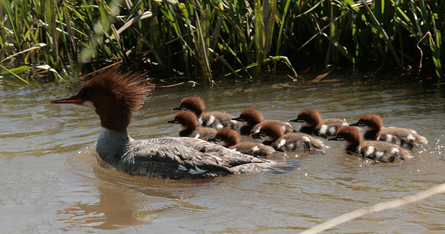 Common Merganser with chicks at the Malheur National Wildlife Refuge. Photo: Roger Baker, USFWS Volunteer / flickr