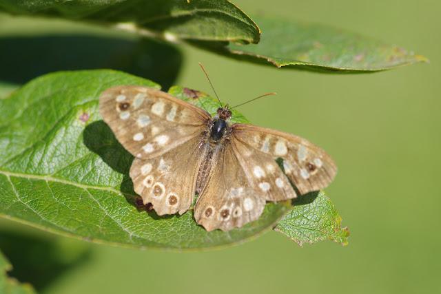 Pararge aegeria (LINNAEUS, 1758). Les Hautes-Lisières (Rouvres, 28), 28 septembre 2012. Photo : J.-M. Gayman