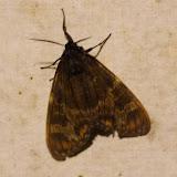Arctiidae :  Pericopini : Dysschema palmeri (DRUCE, 1910), mâle. Los Cedros, 1400 m, Montagnes de Toisan, Cordillère de La Plata (Imbabura, Équateur), 20 novembre 2013. Photo : J.-M. Gayman