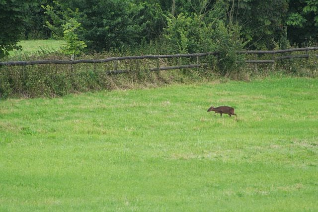 Woodhurst Wildlife Muntjac In The Grassfield - muntjac11.jpg