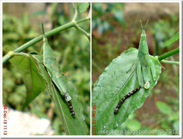 Nimfa belalang betina Atractomorpha crenulata cacat_3