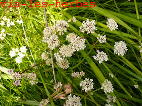 Oenanthe globulosa.jpg