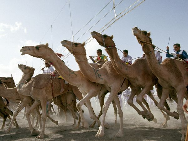 Oman - camel race (photo credit: National Geographic magazine)