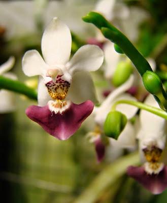 Phalaenopsis Sacha Parishii1