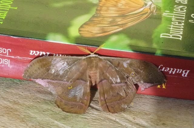Saturniinae : Copaxa moinieri Lemaire, 1974, mâle. Mount Totumas, 1900 m (Chiriqui, Panamá), 21 octobre 2014. Photo : J.-M. Gayman