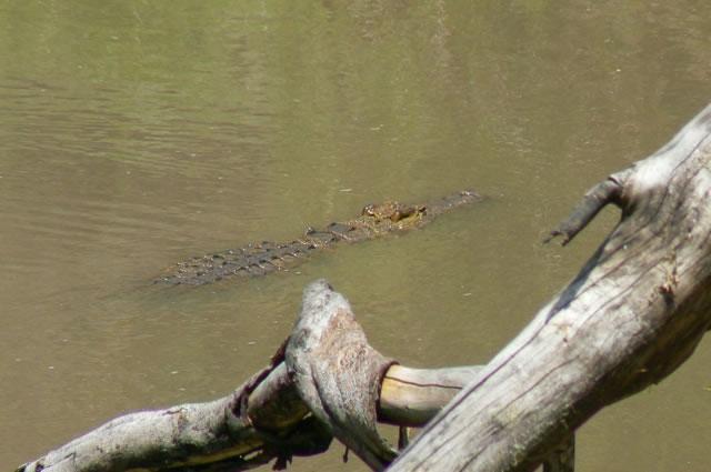 Serengeti National Park - crocodile