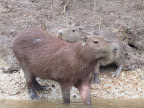 Another shot of some capybara.
