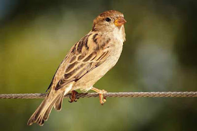 Sparrow information in marathi