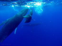 Baby humpback, mom and escort.
