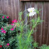 Gardening 2010, Part Two - 101_3195.JPG