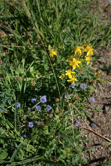 Des fleurs sur le chemin près d'Aizac