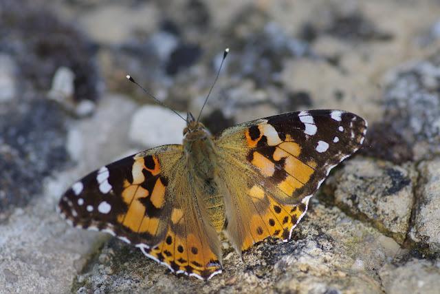 Vanessa cardui (Linnaeus, 1758). Les Hautes-Courennes, 550 m, Saint-Martin-de-Castillon (Vaucluse), 14 juin 2015. Photo : J.-M. Gayman