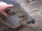 This friendly wild jungle pig was not shy though - he loved a good scratch behind the ears.