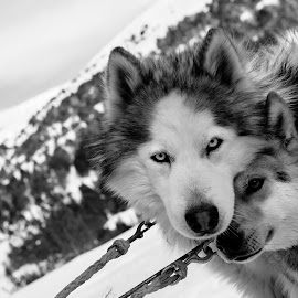 Mushing Andorra by Martín Silva Cosentino - Animals - Dogs Portraits ( d750, mushing, perros, andorra, siberianos,  )