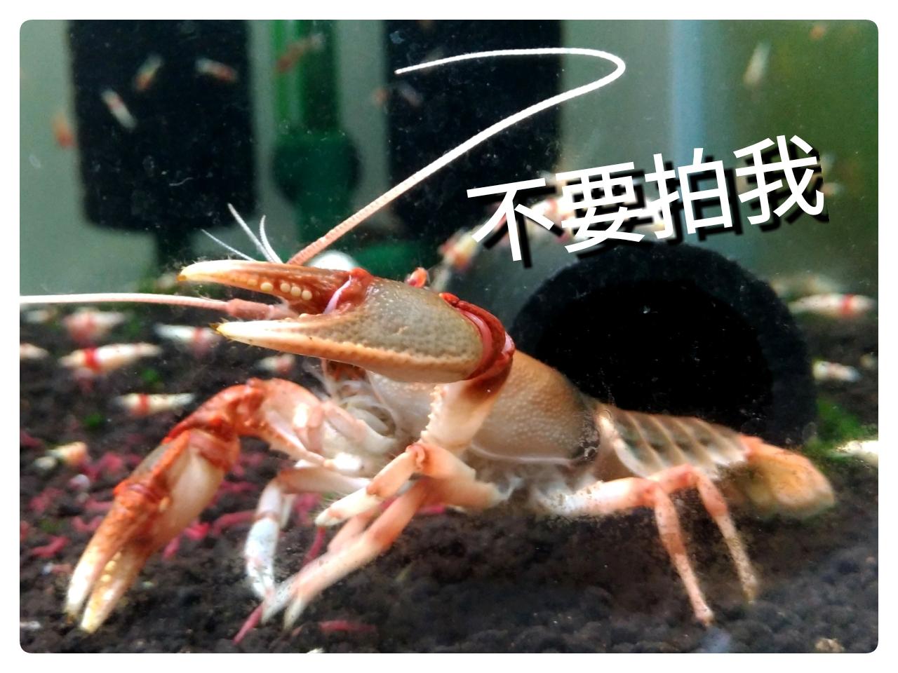 螯蝦飼養心得分享 @ 魚箱蝦寶 :: 痞客邦