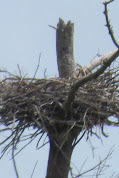 Heron Colony at Libby Hill-014.JPG