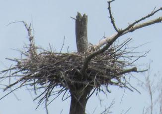 Heron Colony at Libby Hill-014.JPG