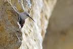 REPAS EN VUE   Le tichodrome attrape les insectes au vol comme dans les fissures des falaises