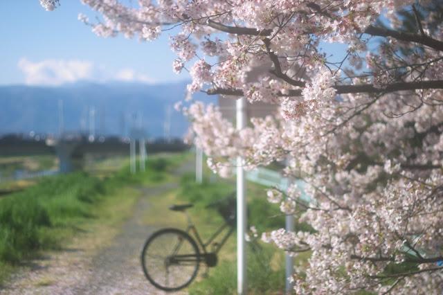 通学路の桜