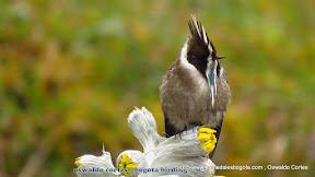 endemic, green-bearded helmetcres, Oxypogon guerinii, Parque Nacional Chingaza, Bogota Birding, Eastern andes Birding tour (Focus hummingbirds) .JPG