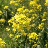 河原の菜の花