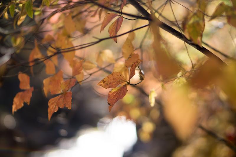 Meiji Onsen Ryokan Autumn Leaves3