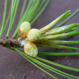 White Pine needles come in clusters of five