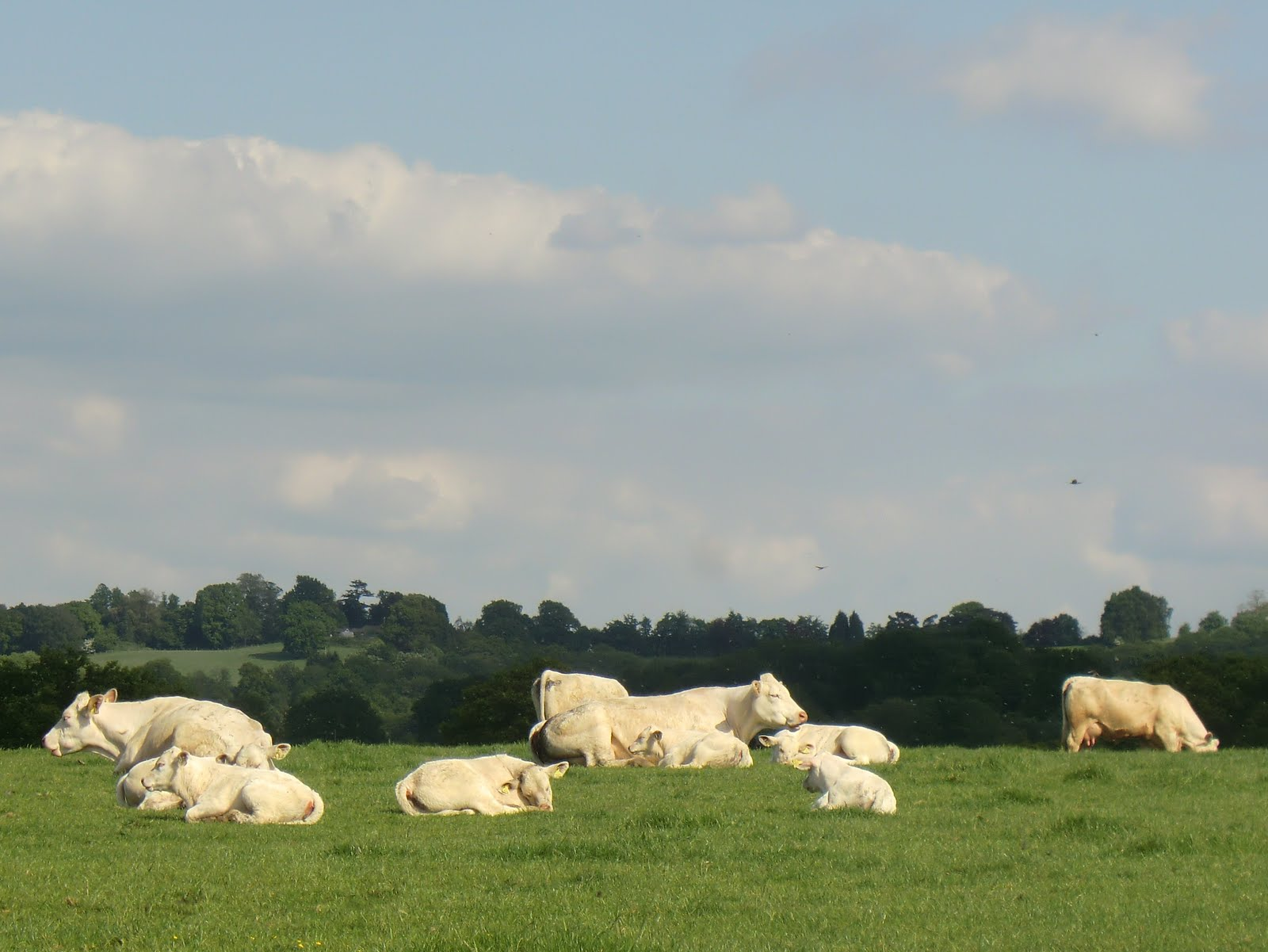 CIMG7130 Charolais cattle, Ensfield