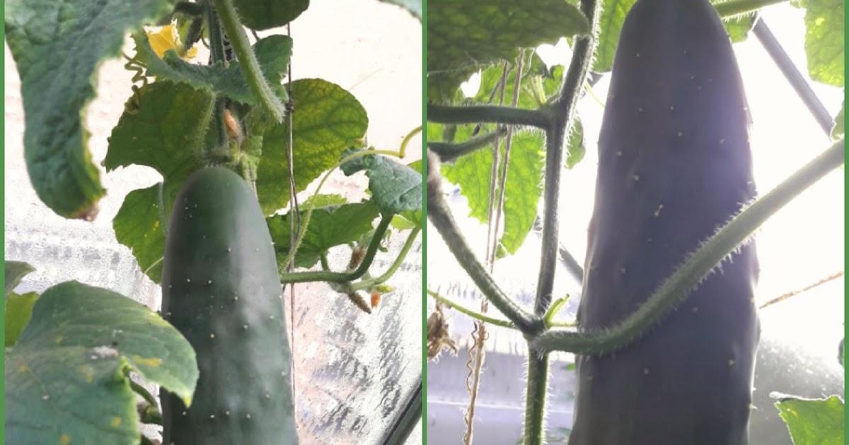 Tijd voor tamar ode aan de komkommer en atjar komkommer - De komkommers ...