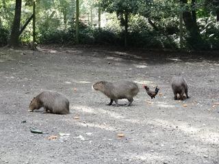 2016.07.31-085 capybaras