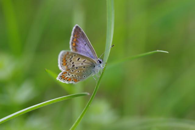 Polyommatus icarus (Rottemburg, 1775), ♀ forme bleue. Les Hautes-Lisières (Rouvres, 28), 7 septembre 2015. Photo : J.-M. Gayman