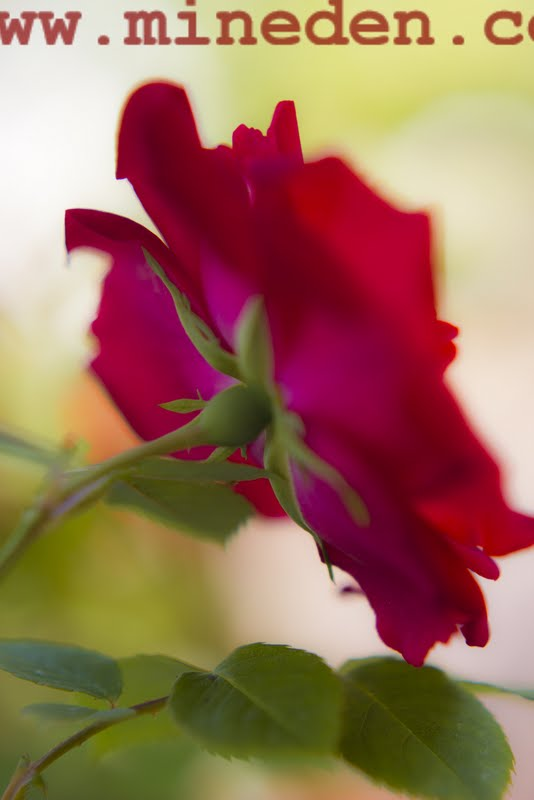 Kanadensiska rosen Champlain