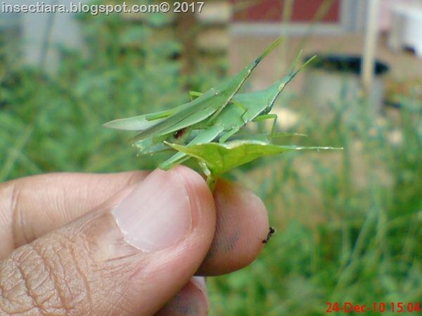 belalang Atractomorpha crenulata kawin di daun pegagan_2