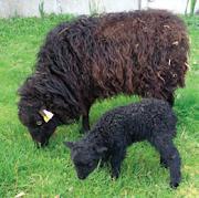 Elevage du Petit Ebat à Cour-Cheverny - Eco-pâturage