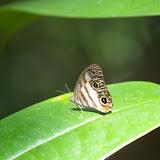 Satyrinae : Pareuptychia lydia CRAMER, 1777. Auberge des Orpailleurs (Guyane). 25 novembre 2011. Photo : J.-M. Gayman