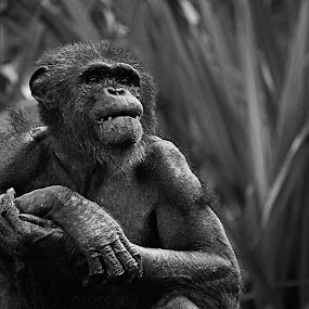 by Brothers Photography - Black & White Animals ( chimpanzee, animals, ape,  )