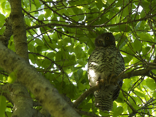 The mightiest owl of Australia - #birds #nature #wildlife - high in a tree in the Royal Botanical...