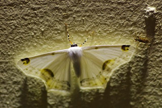 Sericoptera mahometaria (Herrich-Schäffer, 1853). Valle de las Minas, Hornito, cordillère de Talamanca, 1100 m (Chiriquí, Panamá), 27 octobre 2014. Photo : J.-M. Gayman