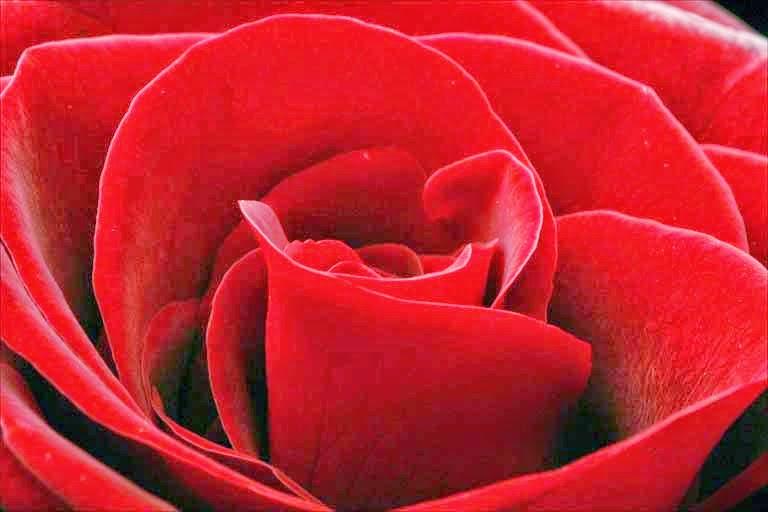 hoa tươi đà nẵng - hoa hồng đỏ