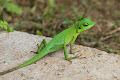 Green Lizard | photo © Matt Kirby