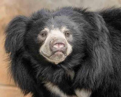 भालू (Sloth Bear) के बारे में 5 तथ्य जो आपको हैरान कर देंगे! | Sloth Bear Facts In Hindi