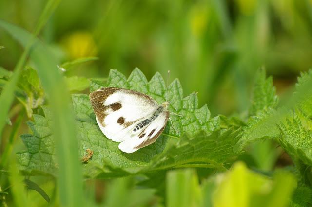 Pieris brassicae nepalensis GRAY, 1846, femelle. Baisha (Nord de Lijiang, Yunnan), 2500 m, 18 août 2010. Photo : J.-M. Gayman