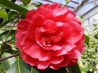鮮紅色 八重〜牡丹咲き 大輪