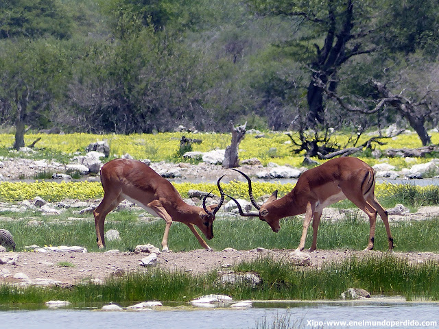 antilopes-ethosa-namibia.JPG
