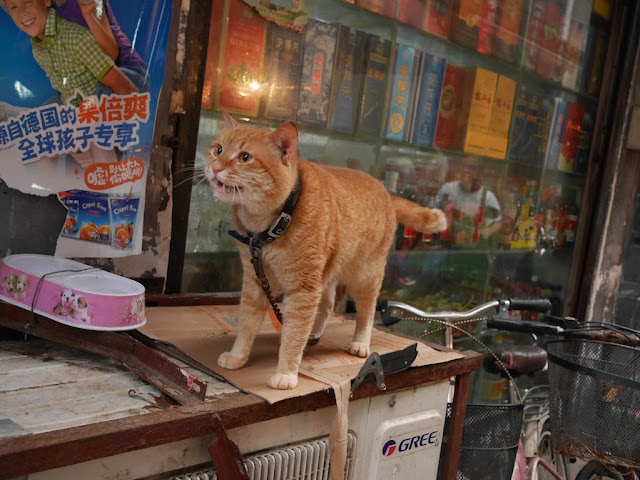 cat meowing in Changsha, Hunan, China