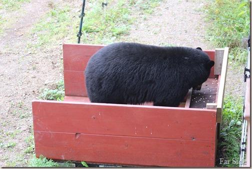 bear scale