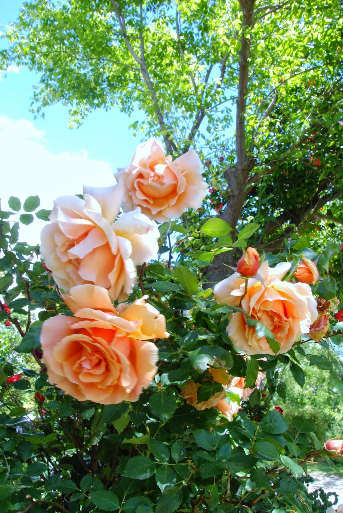 8-Rosas