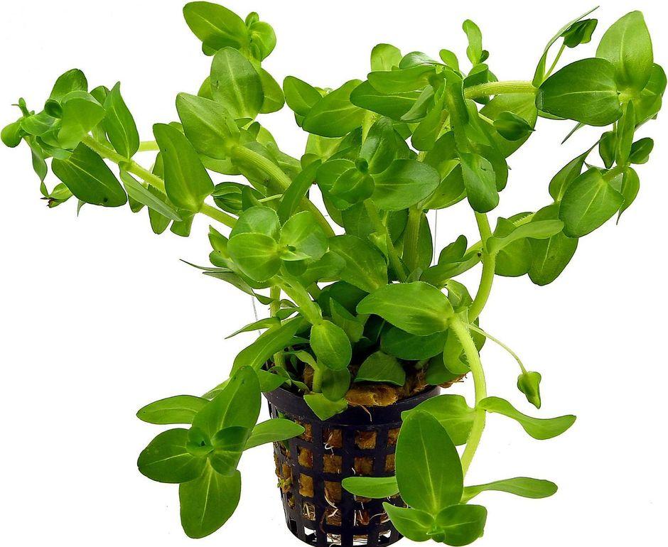 Бакопа каролинская (Bacopa caroliniana)