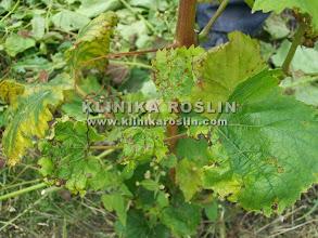 Photo: Antraknoza (Elsinoe ampelina) na liściach