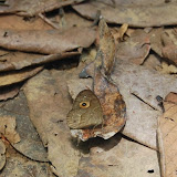 Heteropsis subsimilis (BUTLER, 1879), endémique. Parc de Mantadia (Madagascar), 27 décembre 2013. Photo : T. Laugier